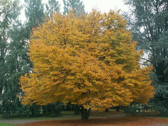 albero_ornamentale