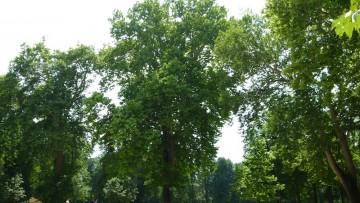 Il Metodo C.A.V.A.T. per calcolare il valore economico degli alberi