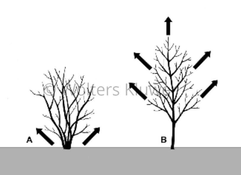Fig. 1. Esemplificazione dei modelli di crescita nelle piante arboree e in quelle arbustive. A: Crescita basitona: l'arbusto si accresce a partire dalla base (gemme del colletto). B: Crescita acrotona: l'albero si accresce a partire dalla periferia (gemme apicali).(disegno L. Vivona).